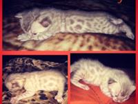 Hi there I have a beautiful Mink Snow Bengal kitten