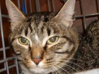 Bengal - Robin-needs A Quiet Home! - Medium - Adult -
