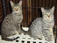 Striking Silver Tabby and Bengal Cross Kittens. Two