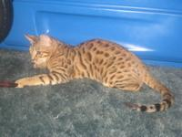 TICA REGISTERED BENGAL. She is the last out of her