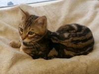 I have a TICA Registered Bengal female for sale at this