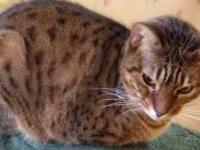 Bengal - Tom And Tony - Large - Adult - Male - Cat The