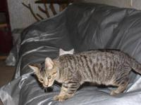 Bengal - Xavier And Yoda - Medium - Young - Male - Cat