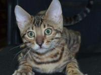 Willie is a TICA Registered Bengal Kitten Born July