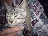 Male marble bengal kitten TICA registered 16 weeks