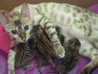 Bengal kittens with TICA papers. All brown spotted.