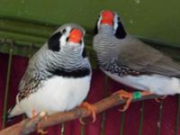 I have several Bengalese and 2 Zebra finches for sale.
