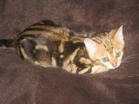 Outstanding !!!! TICA Reg. Brown Marbled Female Bengal