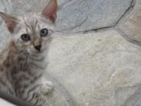 Hello there, I have four snow Bengal kittens for sale.