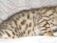 Come to my web site http://www.angelsiambengalcats.com
