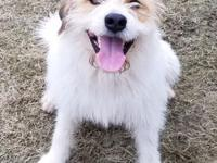 Benji is an approximately 2 year old male terrier mix.