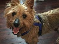 BENNIE in PA's story Col. Potter Cairn Terrier Rescue