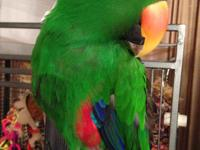 Benny is a male eclectus about 15 years old. Benny has