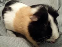 Benny is an American Guinea Pig. He is on the large