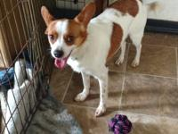 Little Man Bentley is a 3yr Chihuahua/Papillon mix. He