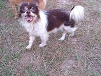 My story Bentley is a 5lb, 5-yr-old Chihuahua who is