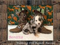 Ranch Raised ASDR Toy / Mini Aussie Puppies. Beretta ~