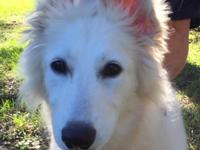 She is a Berger blanc suisse shepherd. She is 17 wks &