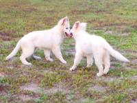 Berger blanc suisse shepherd female pup avalible.