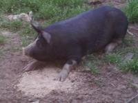 Purebred Berkshire female pig, about 8 months old, 300+
