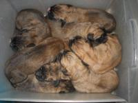 We are proud to announce our second litter of bernadane