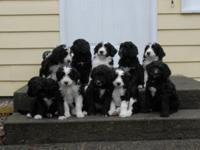 Bernedoodle These are first generation (F1) Bernese