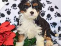 bernedoodle Pets and Animals for sale in Cleveland, Ohio - Puppy and