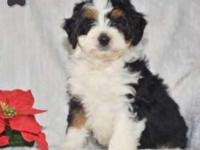 Bernedoodle Miniature Puppy By Marlin In Sugarcreek! for