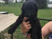 Bernedoodle puppies, beautiful fun loving male