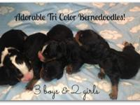 Puppies by Design has a gorgeous litter of Tri color