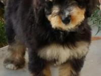 A Bernedoodle is a cross between a Poodle and Bernese
