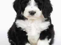 We have beautiful bernedoodle puppies that will be
