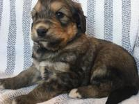 Say hello to Dozer a friendly male bernedoodle with a
