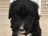 Jill is a female Bernedoodle. Her father is a standard