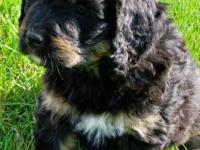 Ella is a beautiful and healthy Bernedoodle. She was