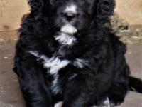 Echo is a beautiful and healthy Bernedoodle. She was