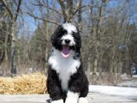 Buffalo Ridge Bernedoodles have arrived! This is one