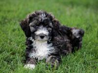 This is a really pretty F1b Bernedoodle..She has been