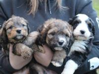 This is a really pretty litter of F1 Bernedoodles..They