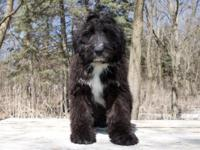 Buffalo Ridge Bernedoodles have arrived both mini and