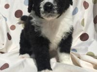 Bernedoodles! Beautiful puppies raised in home with