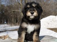 Buffalo Ridge Bernedoodles have arrived, F1 Standards