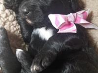 F1 standard Bernedoodle female puppy ready for her new