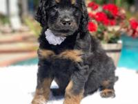 Male ( CREAM COLLAR ) Phantom standard f1 bernedoodle