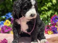 Bicolored standard f1 bernedoodle (standard poodle and