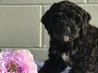 Macy is a Gorgeous Mini Bernedoodle, she has been