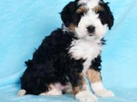 Check out this Amazing Mini Bernedoodle puppy! This