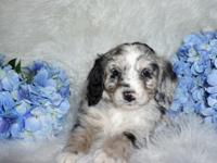 Mini Bernedoodle puppies make the perfect pet! They