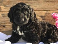 Molly is a Gorgeous Mini Bernedoodle, she has been