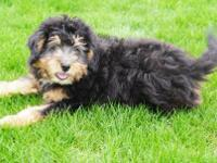 Molly is a beautiful tri-color mini Bernedoodle who is